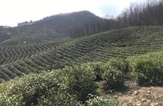 茶叶助繁殖